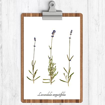 Lavender Botanical Print