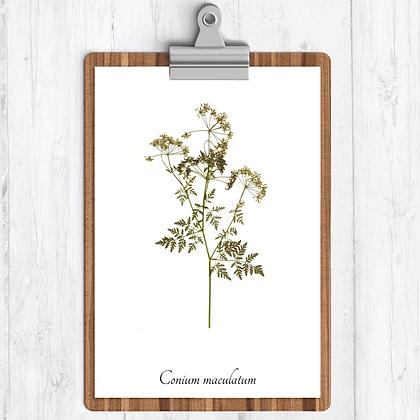 Poison Hemlock Botanical Print