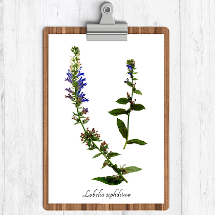 Blue Lobelia Botanical Print