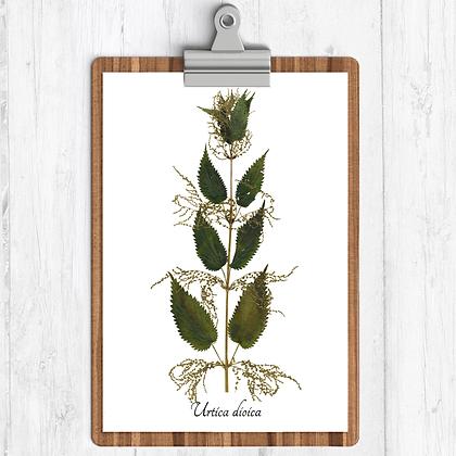Stinging Nettle Botanical Print