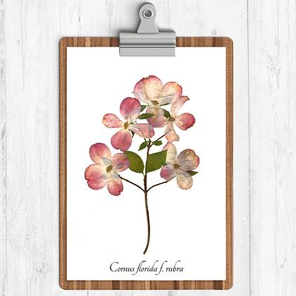 Pink Dogwood Botanical Print