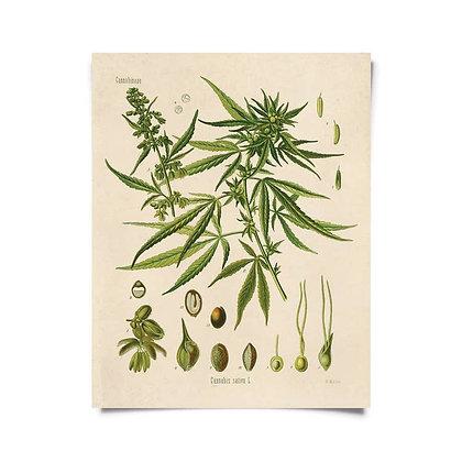 Vintage Botanical Cannabis Sativa Marijuana Print