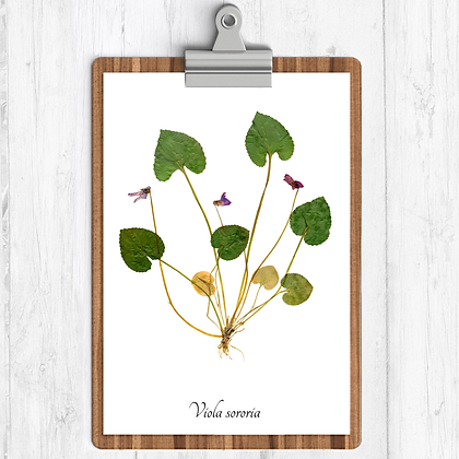 Violet (Heartsease) Botanical Print