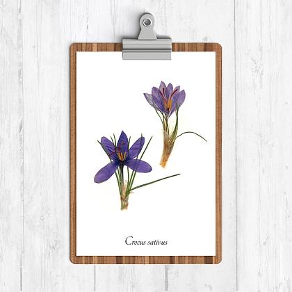 Saffron Botanical Print