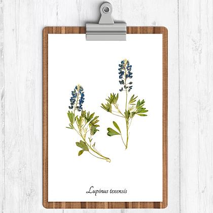 Texas Bluebonnet Botanical Print