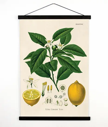 Vintage Botanical Lemon on White Canvas