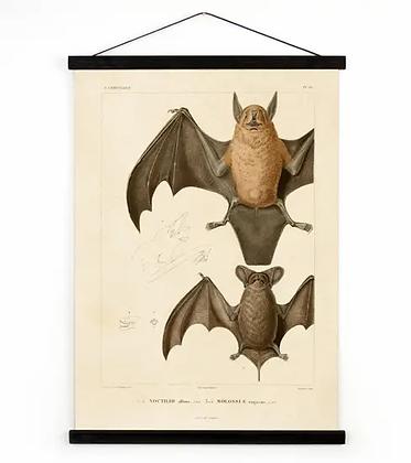 Vintage Natural History Mexican Bat Canvas Hanging Chart
