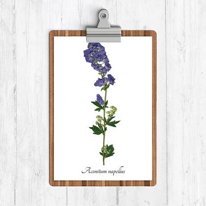 Monkshood Botanical Print