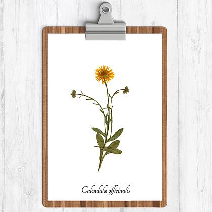 Calendula Botanical Print
