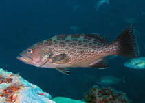 Interesting Facts About Groupers