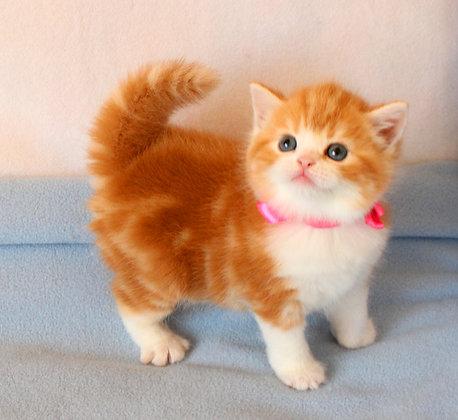 Кошка Gaross Kaaisa . Скоттиш страйт