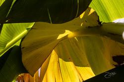 Banana trees-9