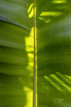 Banana trees-4