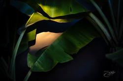 Banana trees-3