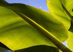 Banana trees-8