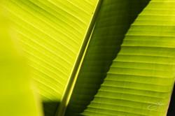 Banana trees-2