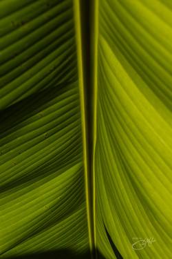 Banana trees-7