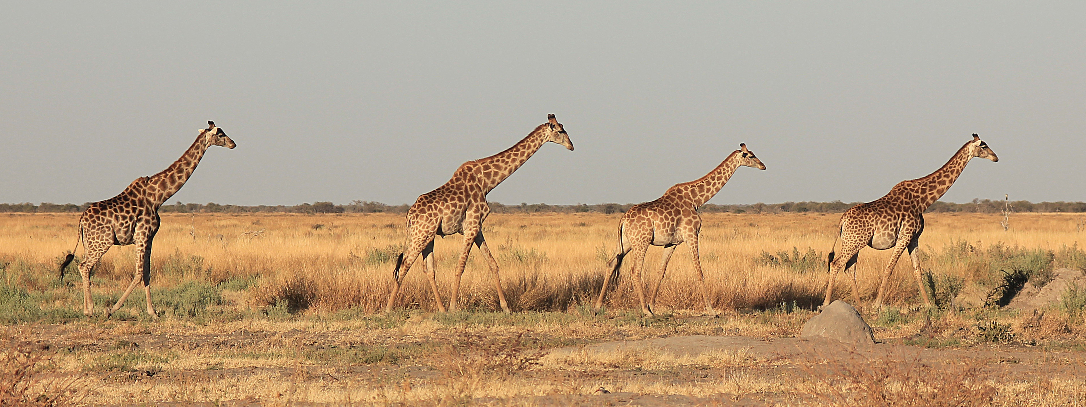 Four Giraffes