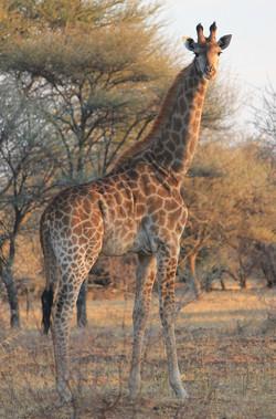 Girafe Botswana