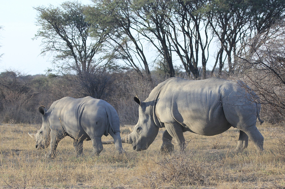 Rhinoceros in Botswana