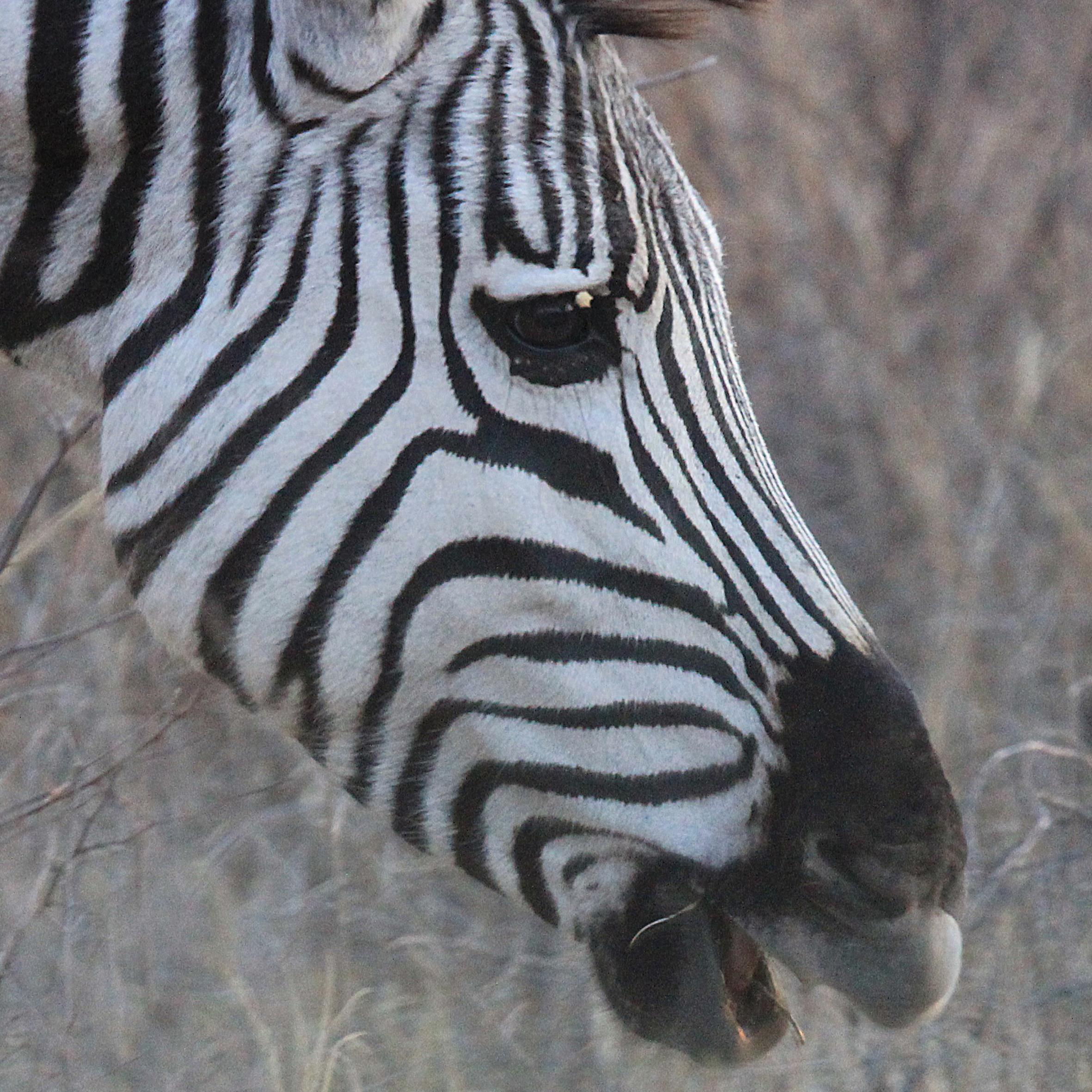 Zebra Profile  2