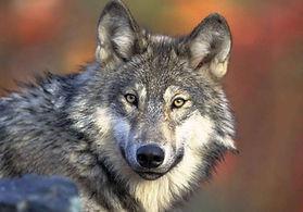 Animal loup pour evenement, animation loup soiree