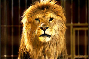 Animal lion  pour evenement et soiree
