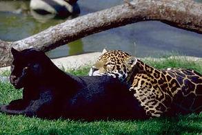 Animal panthere noire pour evenement, animation panthere noire