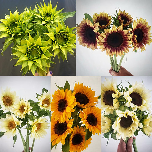 sunflowers - bunch of five