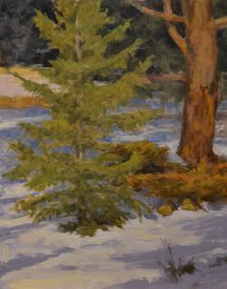Fir and Pine