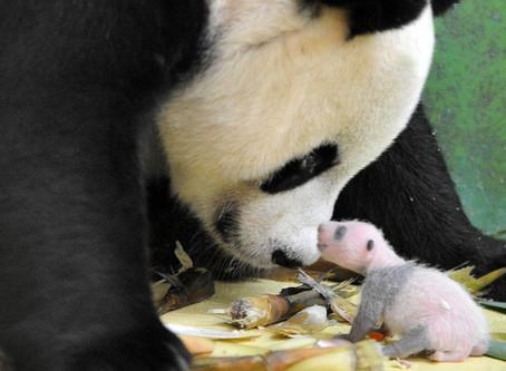 Panda não é urso? Veja curiosidades sobre o animal mais fofo da internet.