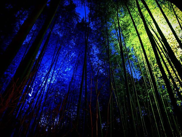 Illuminated Bamboo Forest in Kyoto