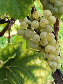 Tussen de wijnranken 1.jpg