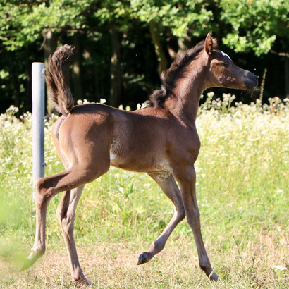 Its a girl! New filly by Ranva x Jakhal Alfabia!