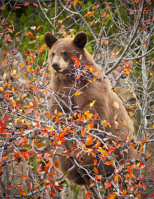 SMGC Bear in Huckleberry Bush