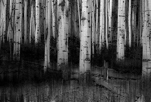 Colorado Aspens in Black and White