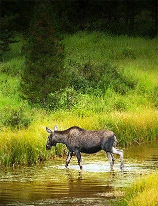 SMGC Moose Early Morning RMNP