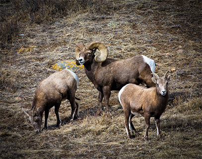 SMGC Big Horn Sheep 3