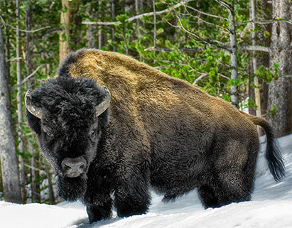 SMGC Buffalo in the Winter Yellowstone
