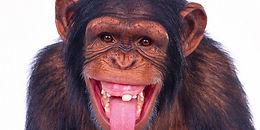 53943_Papel-de-Parede-Macaco-Mostrando-a