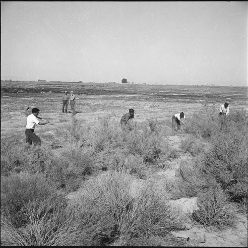 Incarcerees clear land for agricultural use, Topaz War Relocation Center, Utah, circa 1944-1946.