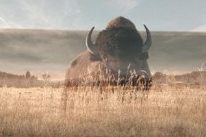 bison3_edited.jpg