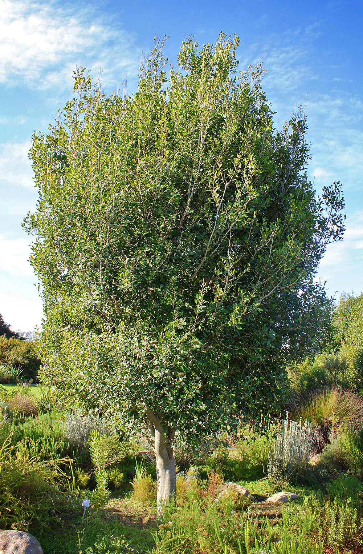 White pear tree