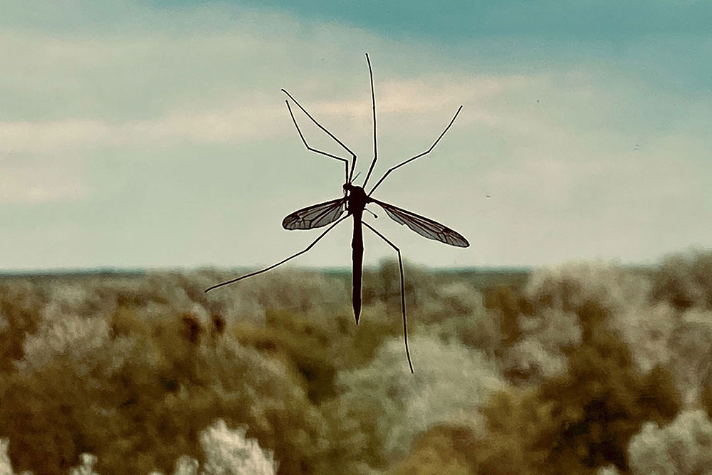 Mosquito on a window