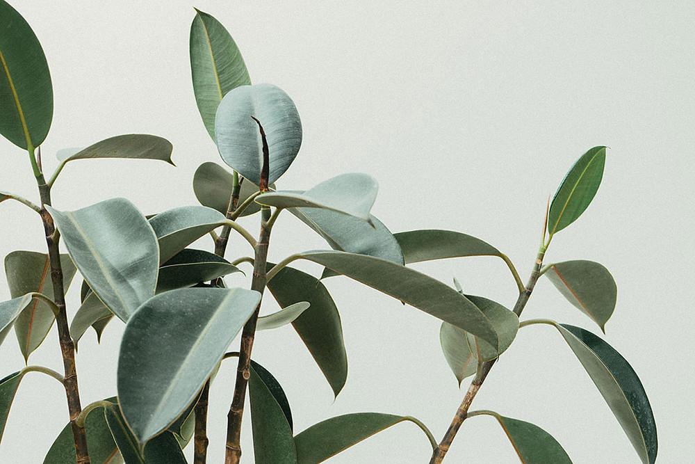 Mosquito repellent plant