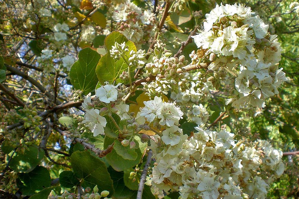 Wild pear tree flowers