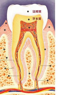 這是牙齒的解剖圖,這張圖間接解釋了為什麼人工植體是目前台北市場上最流行,被稱呼為主流的治療方式!很可惜的是大家都很怕人工植牙的過程,因為未知,因為媒體的不負責任的報告導致於我們對他的恐懼.