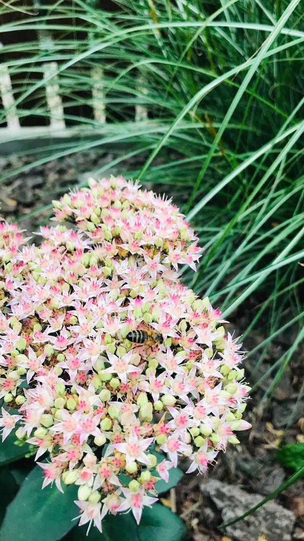 Rozchodnik z pszczołą