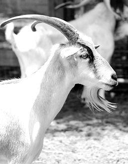 goat1b&w.jpg