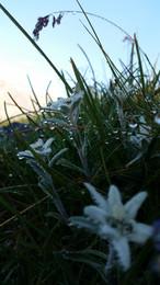 Edelweiss-im-Morgentau.jpg